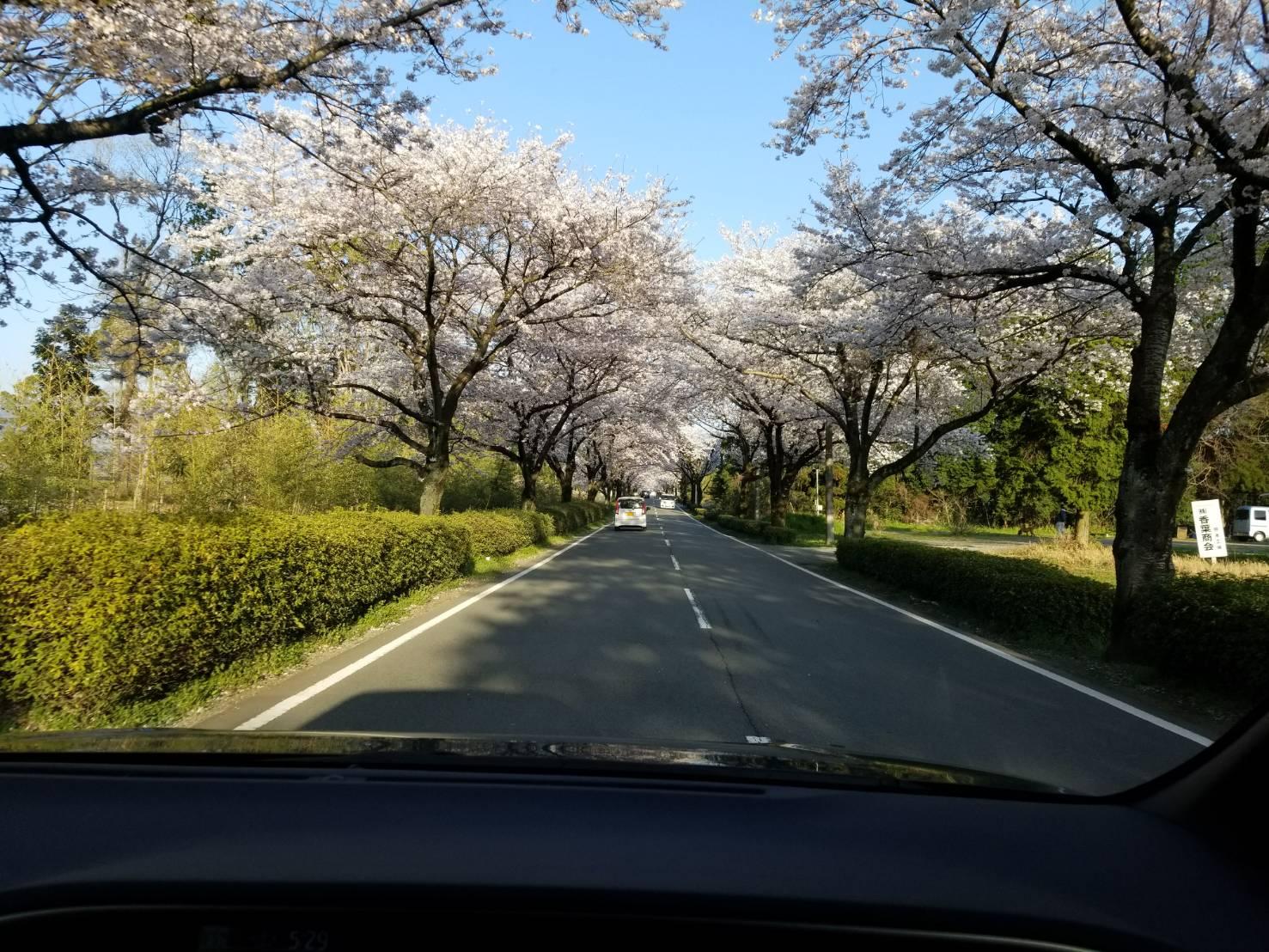 🌸桜のトンネル🌸
